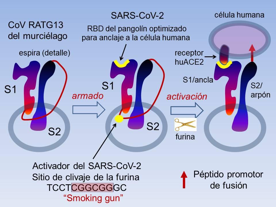 Las dos modificaciones con ganancia de función del CoV RaTG13 del murciélago que promueven la transmisión a humanos y convierten al CoV RaTG13 en el SARS-CoV-2. (Ilustración del autor).