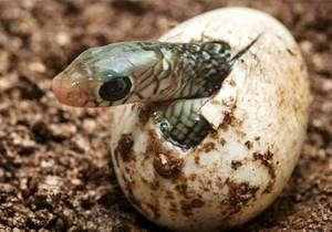 Serpiente saliendo del huevo. (Foto: http://spanish.xinhuanet.com/)